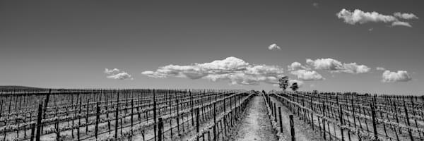 Carneros Vineyard panoramic