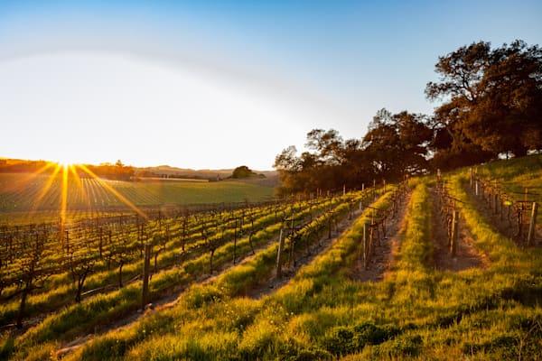 Setting sun over Napa vineyard