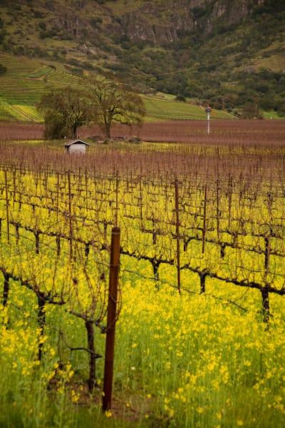 Stags Leap vineyard in mustard