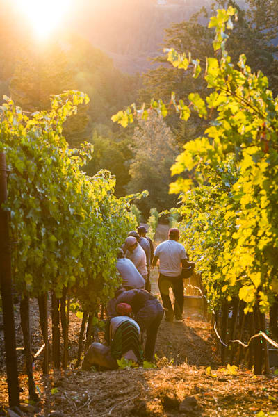 Sunrise grape harvest
