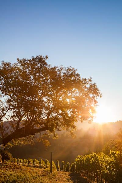 Oak tree in mountaintop vineyard