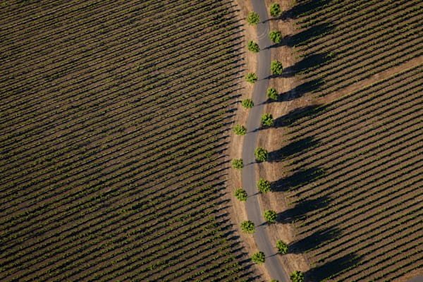 Aerial view of a vineyard and palm trees