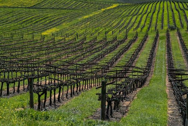 Dormant winter vines