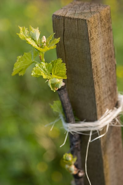Young grapevine budding
