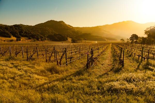 Yountville vineyard sunrise