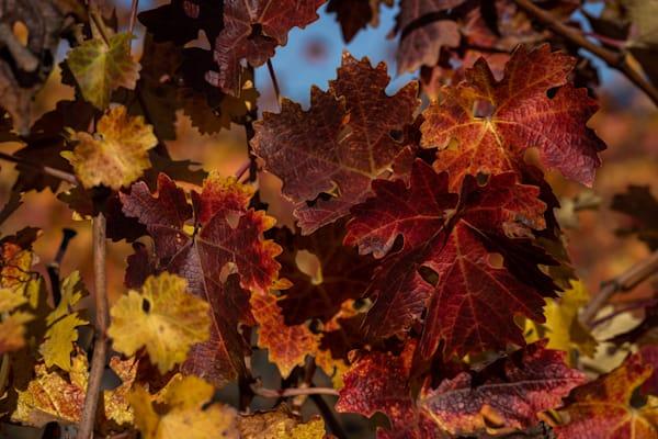 Vineyard fall foliage