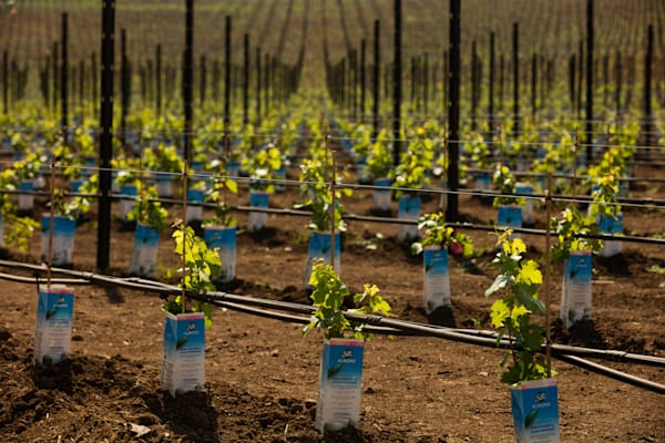 Newly planted vines