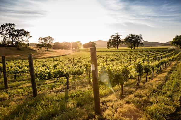 Vineyard in morning light