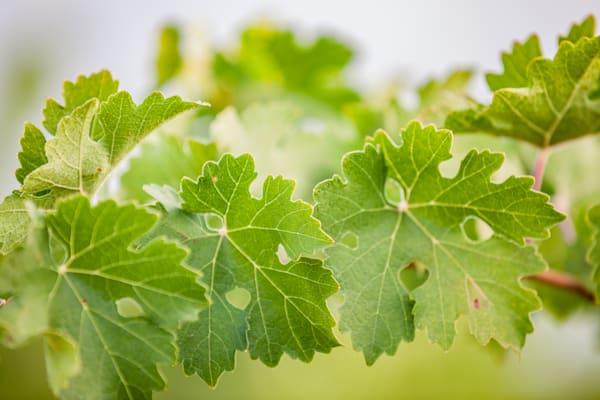 Fresh green grape leaves