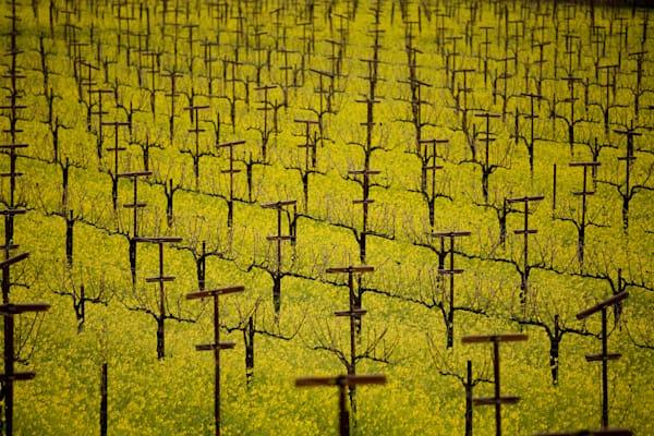 Mustard in dormant vineyard