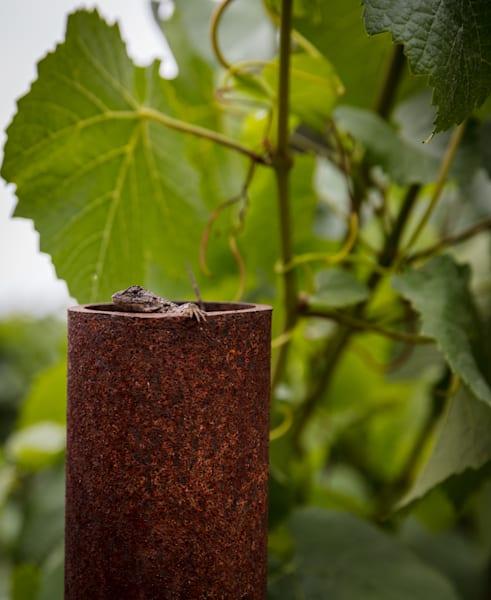 Lizard in vineyard post