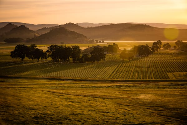 Early morning vineyard landscape