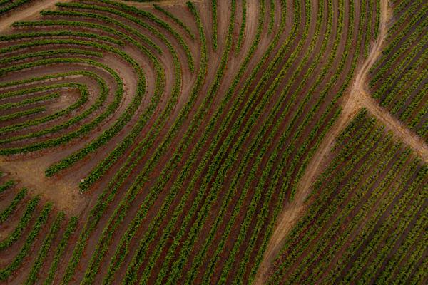Uniquely trellised vines