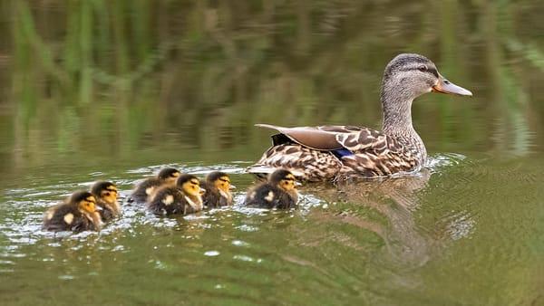 Mallard Mom and Chicks