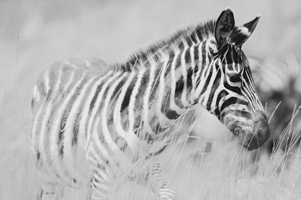 Baby Zebra in Tall Grass black & white