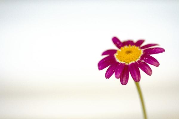 Magenta flower on white