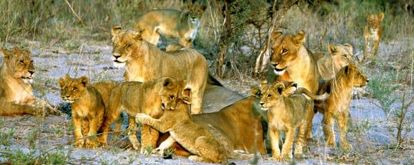 Lion pride at sunrise