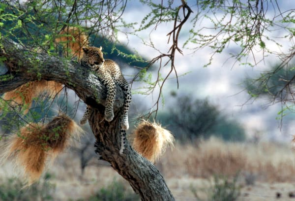 Leopard in Tree with Hanging Nests