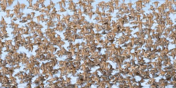 Flock of Western Sandpipers