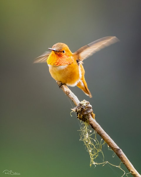 Rufous Hummingbird perched on branch