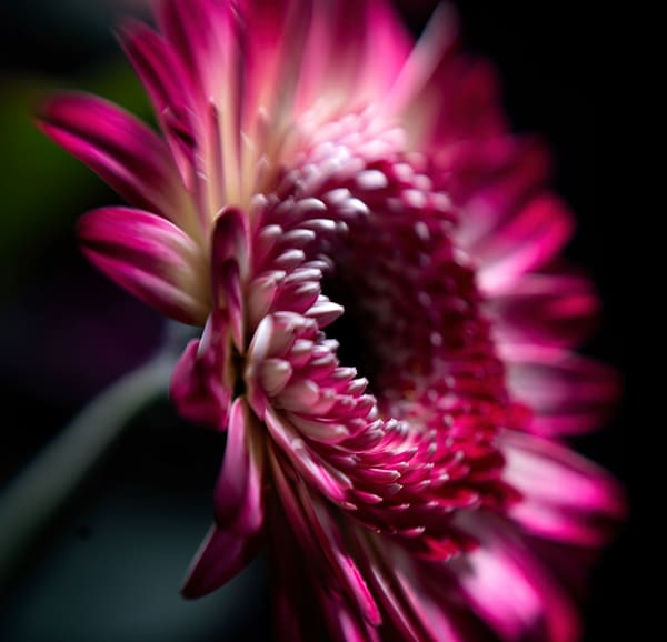 Chinese Aster Bloom Photography Art | Kendall Photography & Fine Art