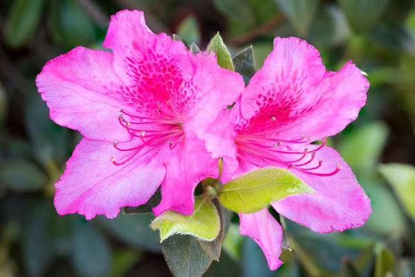 Pink Formosa Azalea, San Diego, California