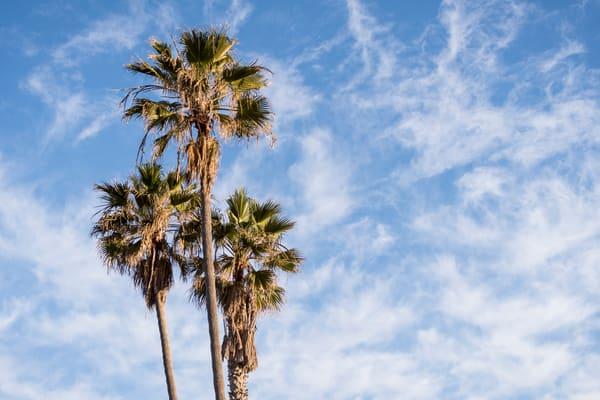 Palm Trees, La Jolla, California