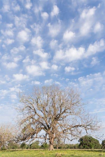 Live Oak Tree & Morning Clouds, Damon, Texas