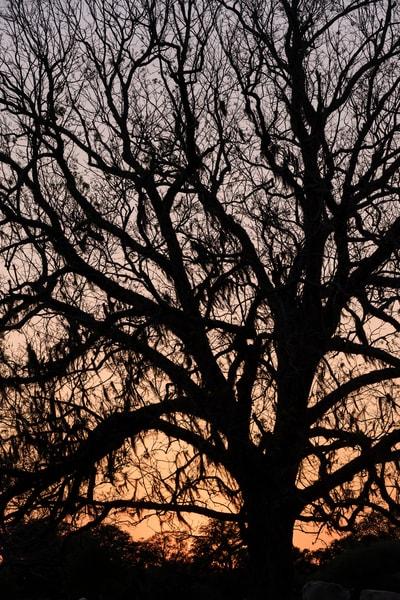 Live Oak Tree Sunset Silhouette, Damon, Texas