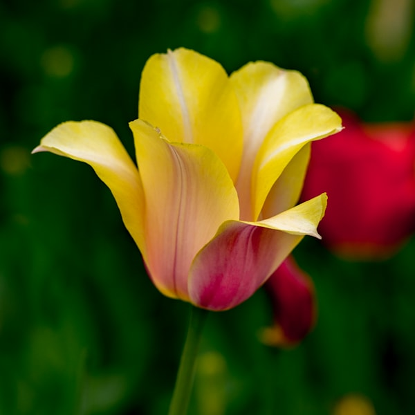 A Mostly Yellow Tulip  Photography Art | Ben Asen Photography