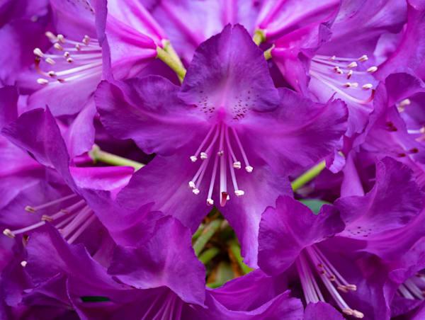 Burst Of Purple Photography Art | Ben Asen Photography