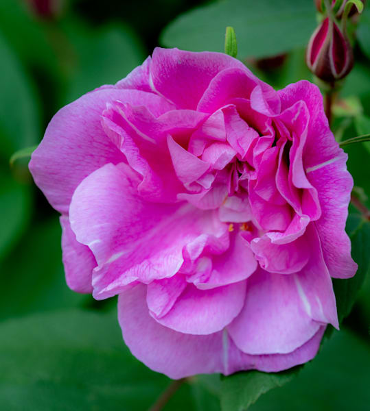 French Rose Photography Art | Ben Asen Photography