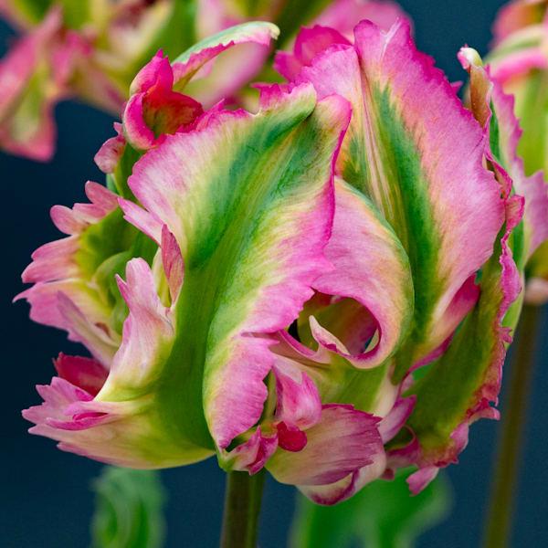 Parrot Tulip Photography Art | Ben Asen Photography