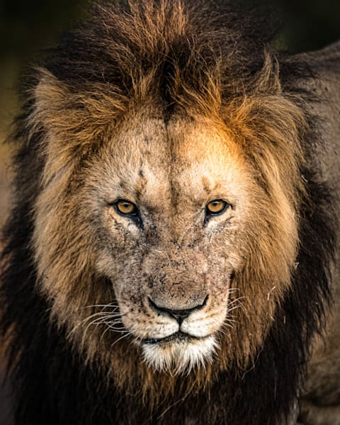 Lion Stare  Photography Art   Visual Arts & Media Group Corporation