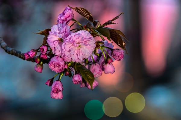Cherry Blossoms at Twilight by photographer F.M. Kearney.