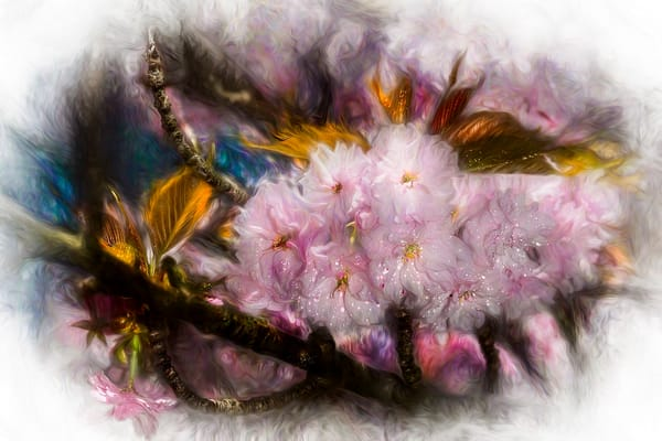 Cherry Blossoms by photographer F.M. Kearney