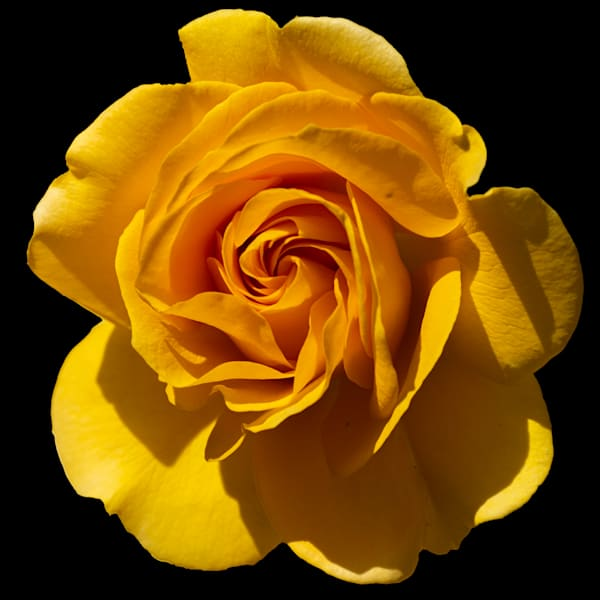 Yellow Rose 3 Photography Art   FocusPro Services, Inc.