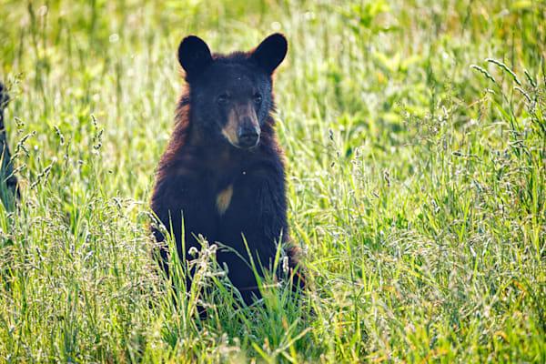 Black Bear Cub in the Sun | Shop Photography by Rick Berk