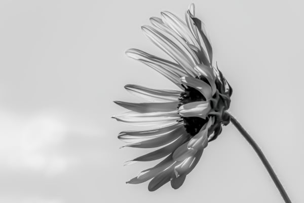 Leaning Into The Light Black And White Flower Series Photography Art   Silver Spirit Photography