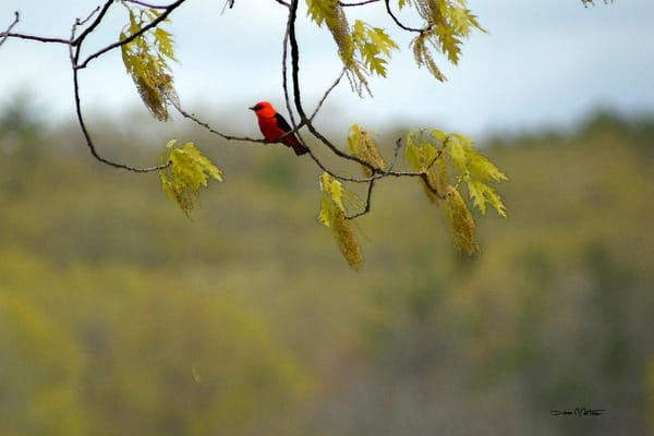 Scarlet Tanager wc