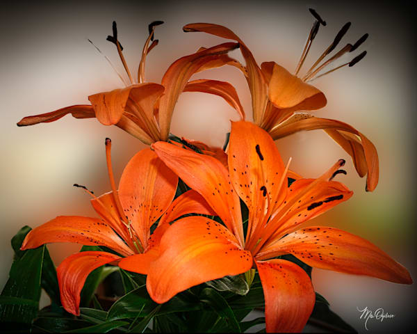 Tiger Lily Photography Art | It's Your World - Enjoy!