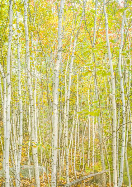 White Birch of Early Autumn