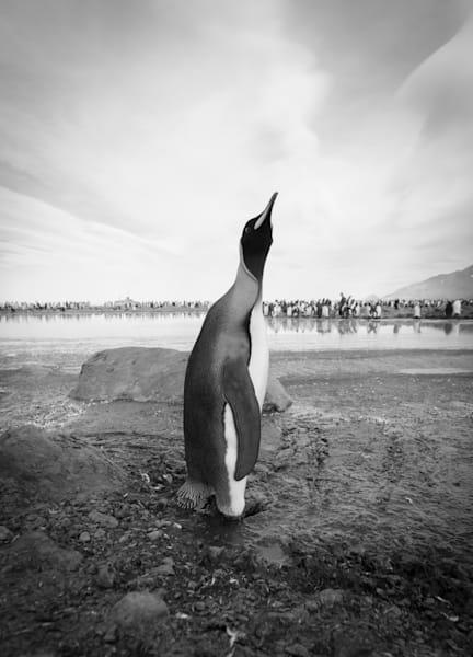 Penguin Strut ( Black & White )  Photography Art | Visual Arts & Media Group Corporation