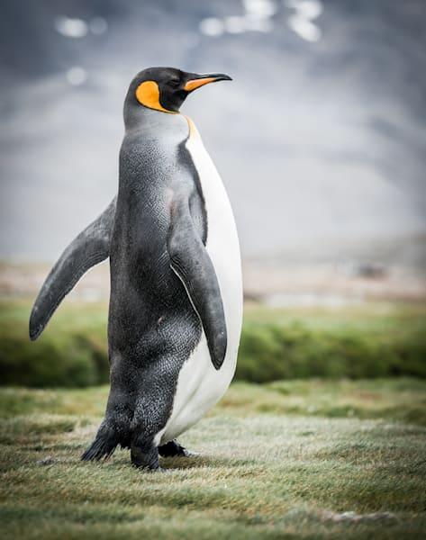 Proud Penguin  Photography Art | Visual Arts & Media Group Corporation