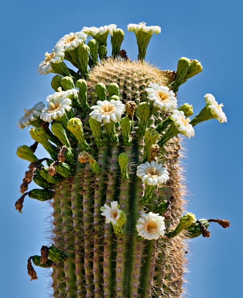 My Saguaro In Bloom Photography Art | frednewmanphotography