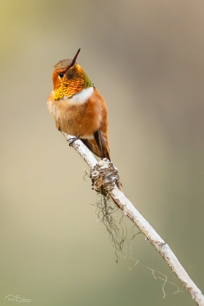 Rufous Hummingbird perched on branch.