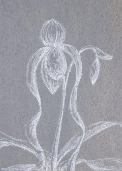Paphiopedilum Sanderianum Art   RPAC Gallery