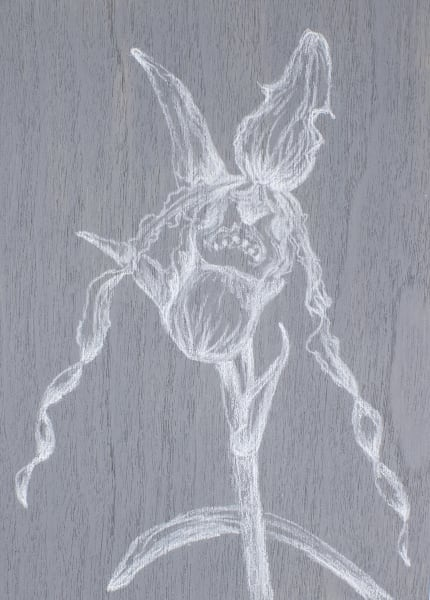 Phragmipedium Richteri Art   RPAC Gallery