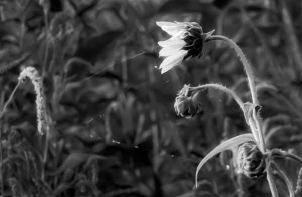 Invisible Threads  Black And White Flower Series Photography Art   Silver Spirit Photography