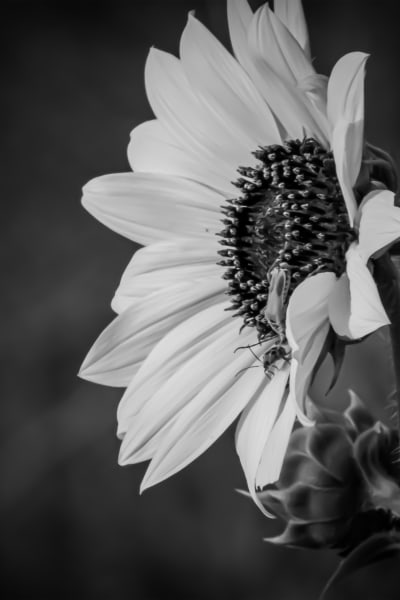 Tradition Black And White Flower Series Photography Art   Silver Spirit Photography